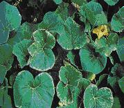 Gambar Gejala kekurangan kalium pada daun labu