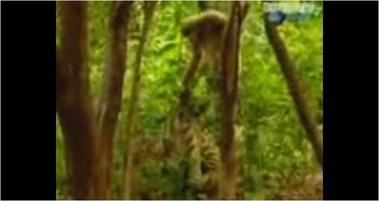 Monyet Nakal vs Macan