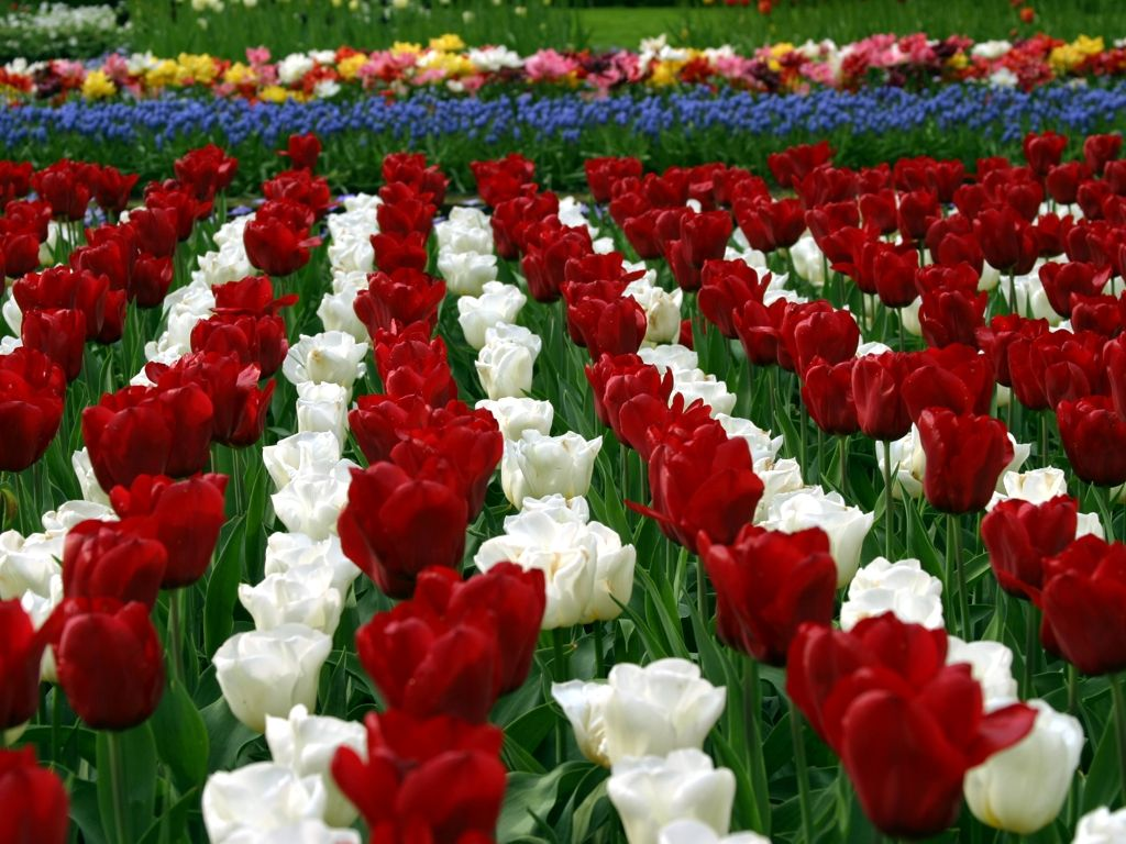 Holland Tulip Gardens HD Wallpapers   HD Nature Wallpapers White Rose Flower Garden Wallpaper