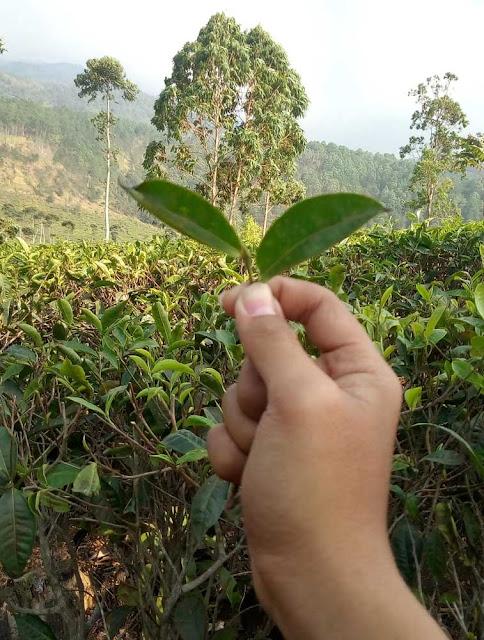 daun teh