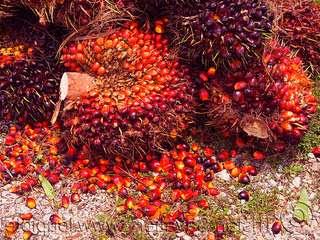 buah-kelapa-sawit-busuk.jpg