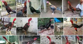 Ayam Aduan Bondowoso