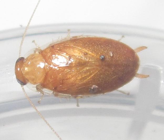 Plectopterapoeyi%252311.JPG