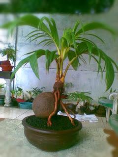 membuat-bonsai-kelapa-mini.jpg