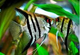 Jenis Ikan Hias Air Tawar Manfish