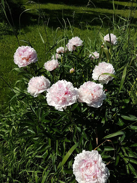 pink peonies in Garden Hacquoil Rd. slate River