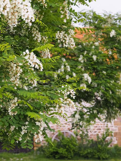bloeiende Acacia