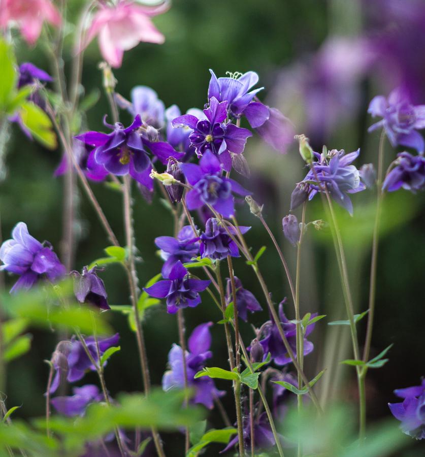 Blog + Fotografie by it's me! | fim.works | Typisch für meinen Garten | lilafarbene Akelei