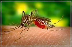 Proses Nyamuk Menghisap Darah Kita