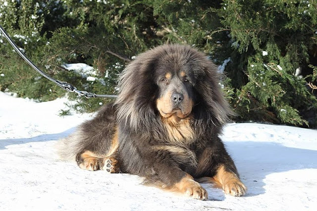 tibetan mastiff mastiff tibet tibetan mastiff dog tibetan mastiff price tibetan mastiff puppy english mastiff french mastiff neapolitan mastiff himalayan mastiff tibetan dog dog puppies