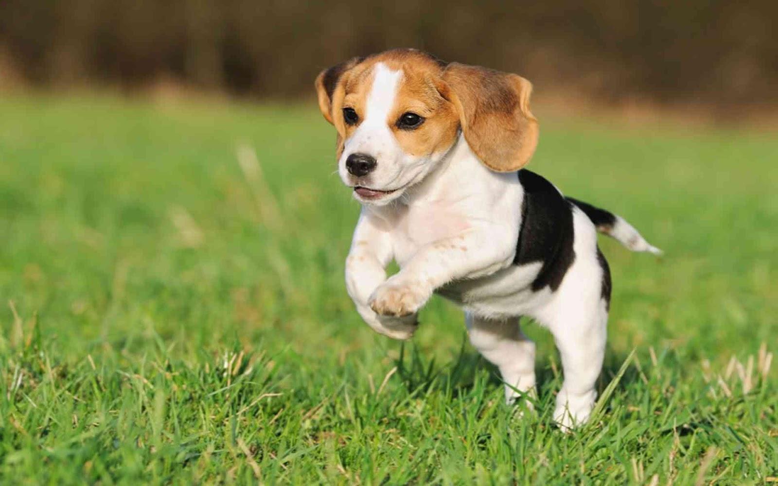 Beagle - Breed Profile   Australian Dog Lover