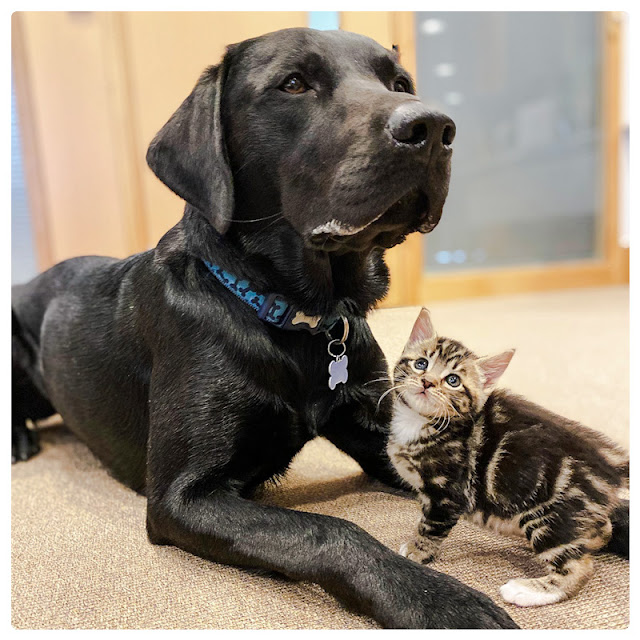 Bertie a rescued Lab retriever parenting rescued kittens abandoned at 2-weeks-of-age