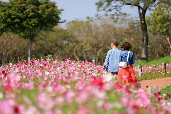 后里花田綠廊1.2公頃大波斯菊花海盛開,順遊棒棒糖花海拍美照
