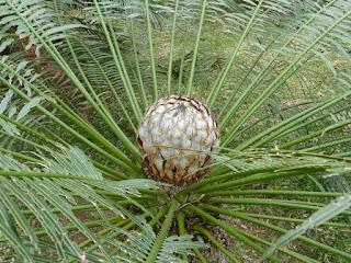 Cycas sp. Cycas non identifié - Sagou - Sagoutier