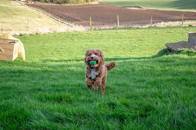 Red and white cockapoo puppy running with ball in mouth