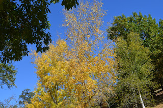 Treetops in different shades of green and yellow against a clear blue sky