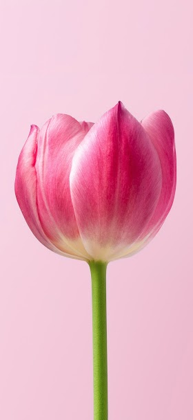Pink tulip flower wallpaper