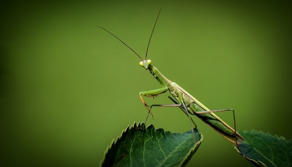 Descubren nuevas especies de mantis religiosa imitadora de avispas
