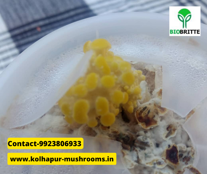Mushroom supplier in Ratnagiri | mushroom training | mushroom store | mushroom spawn supplier | fresh & dry mushrooms | mushroom products | mushroom business