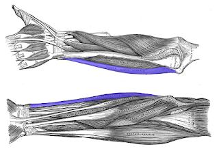 flexor carpi ulnaris muscles- by  www.learningwayeasy.com