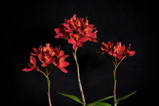 Epidendrum ibaguense orchid plant care and culture