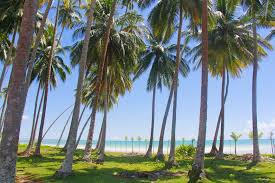 bibit kelapa