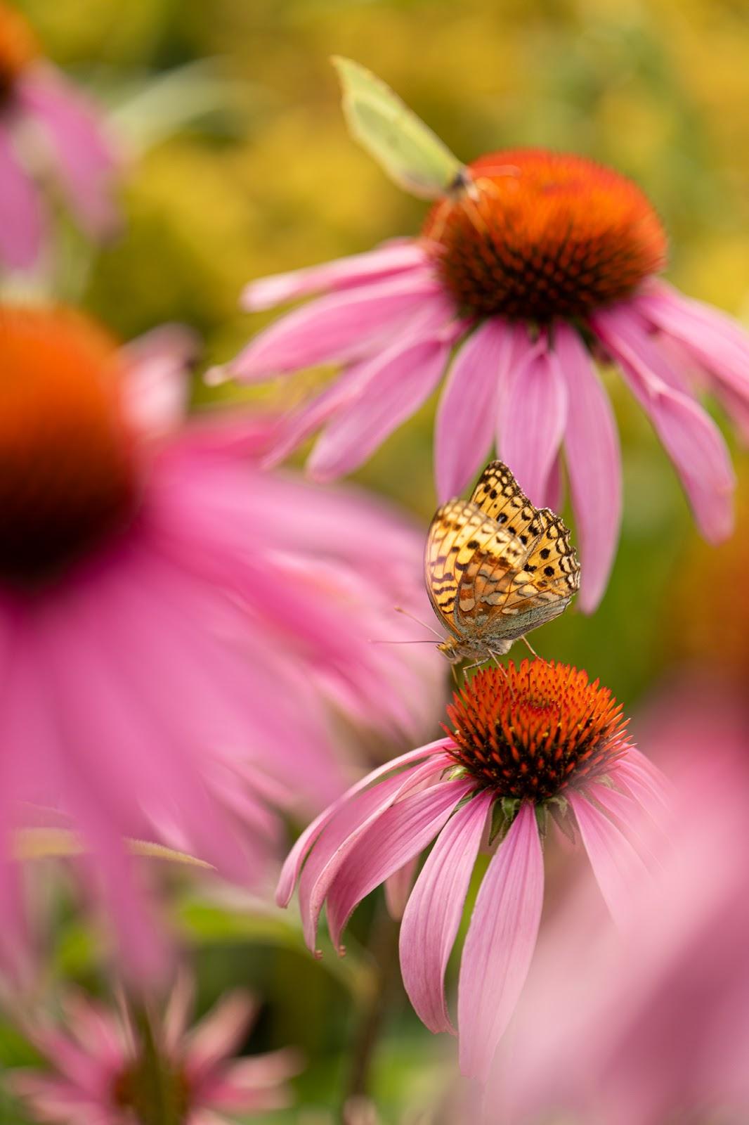 Perhospuutarha, hopeatäplä