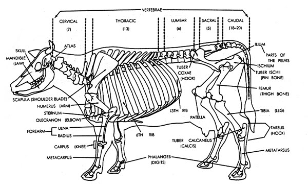 Cow Anatomy Diagram: Case Of A Cow That Knocked Off Her Hook Bone