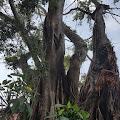"Misteri Dibalik Pohon Beringin Tumbang, ""Tombak Peninggalan Joko Tingkir Geser"""