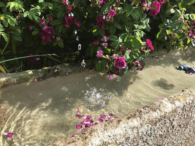 frisches Wasser gluckst aus dem Brunnen, die Rose freut es (c) by Joachim Wenk