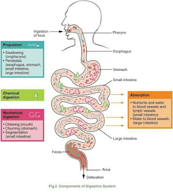 Overview of process of Digestive system