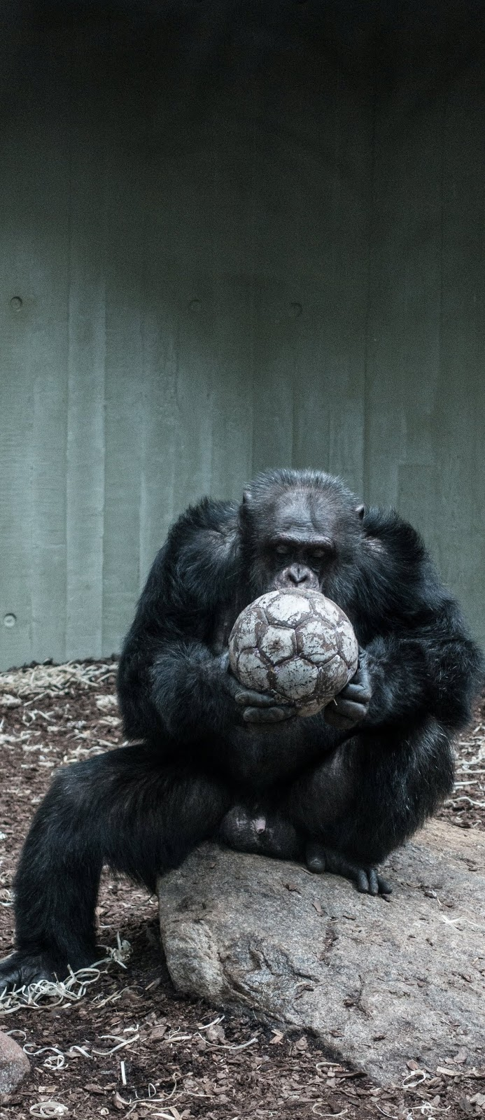 What football means to a gorilla.