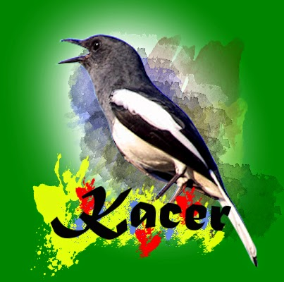 Download mp3 suara burung kacer betina