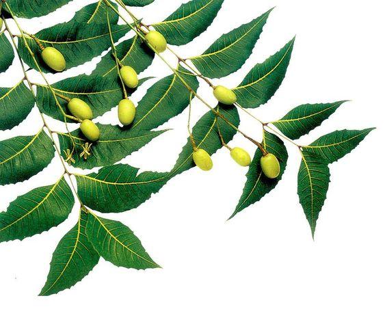इन पेड़ के पत्तो का सेवन करने से होते है गजब के फायदे,यकीन ना हो तो आजमा कर देखिये !!