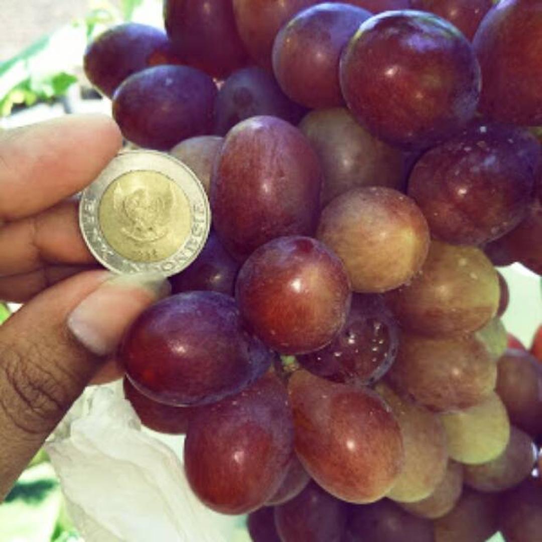 Siap Kirim! Bibit Buah Anggur Import Ninel Manis Segar Berbiji Sangat Kecil Dan Bersifat Genjah Kota Bandung #bibit buah