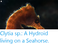 https://sciencythoughts.blogspot.com/2018/12/clytia-sp-hydroid-living-on-seahorse.html