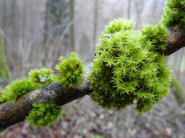 Musgo creciendo en una rama