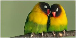 Burung Lovebird - Penyakit Mencret yang Menyerang Burung Lovebird  dan Cara Penangannannya - Penangkaran Burung Lovebird