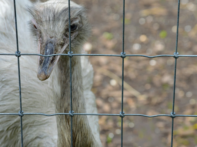 Image taken at Tattershall Farm Park of the face of an ostrich close up. It is behind a silver wire fence.