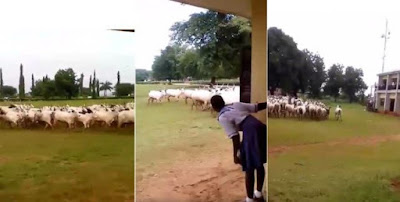 Herdsmen & Their Cows Chased Out Of Girls School