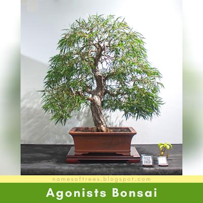 Agonists Bonsai