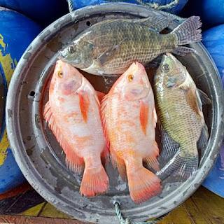 Harga Supplier Jual Ikan Nila Bibit dan Konsumsi Pontianak, Kalimantan Barat