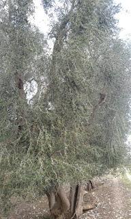 olio extravergine d'oliva 100 italiano vendita