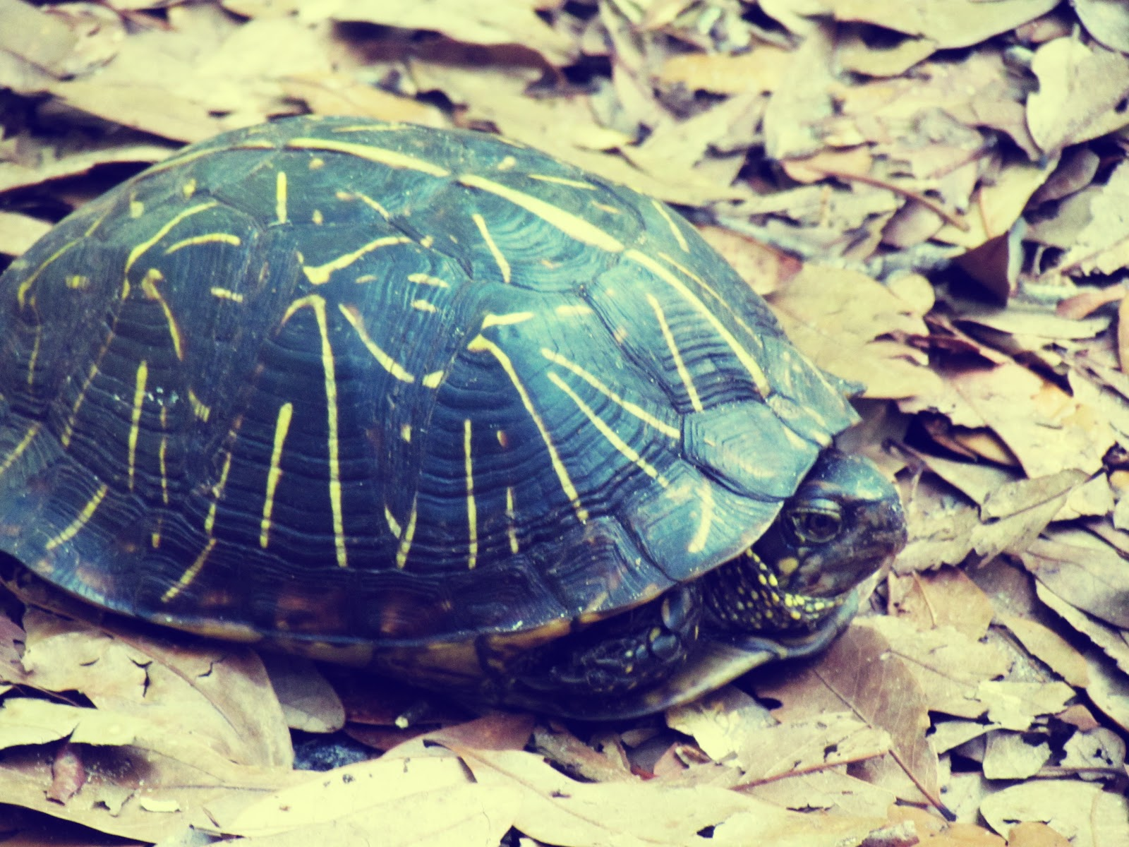 A yellow-bellied slider tortoise in Florida's Hammock Park in Dunedin, Florida