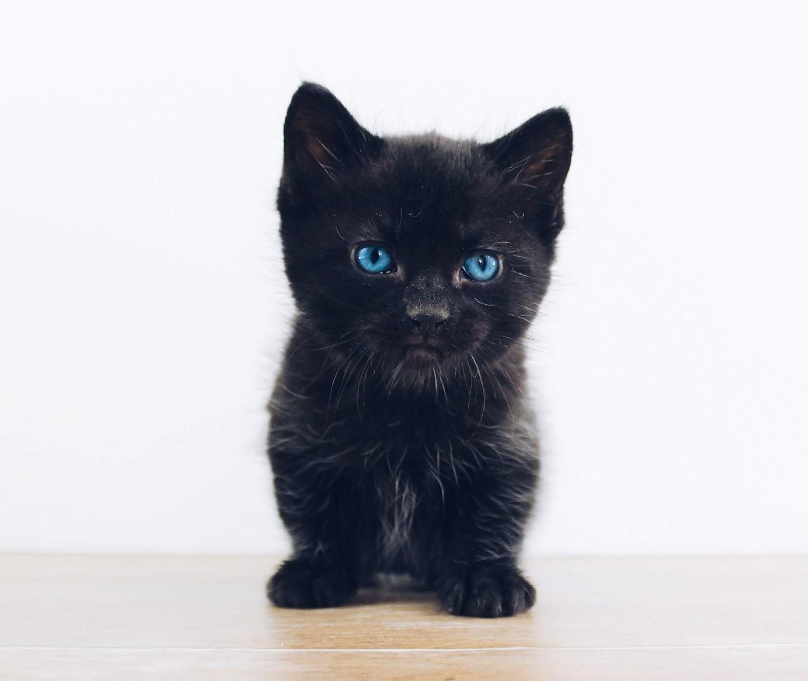 black kitten,cat images