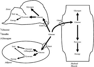 flow of glucose to tissues