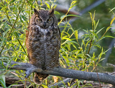 Photo of Great Horned Owl on a willow branch