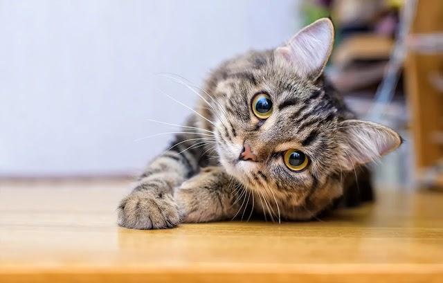 Nomes para Gato Siamês