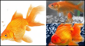 Cool Facts About Goldfish