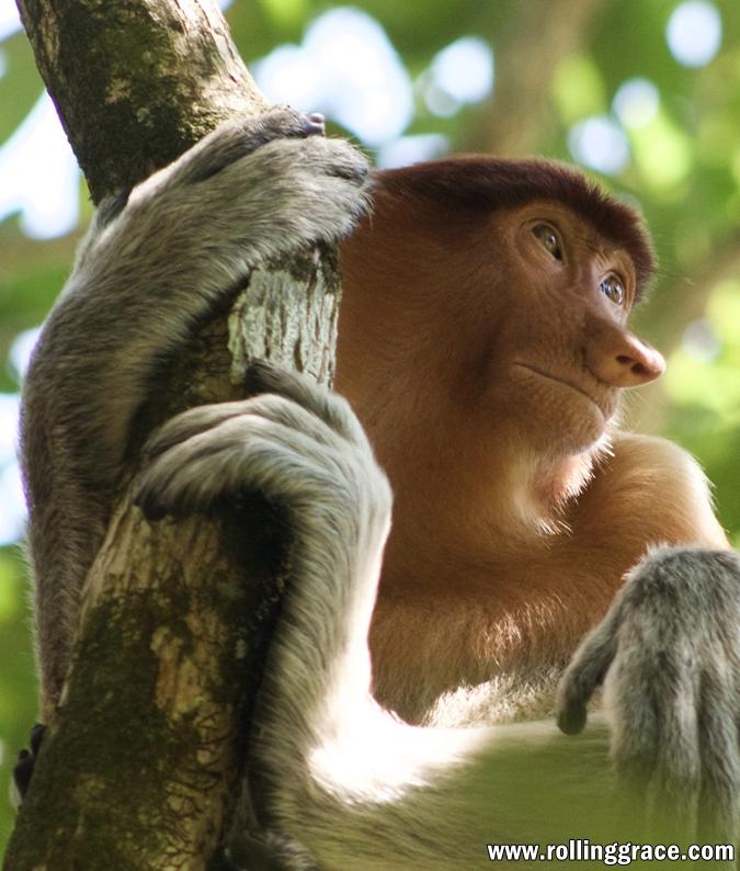 how to see proboscis monkeys in brunei